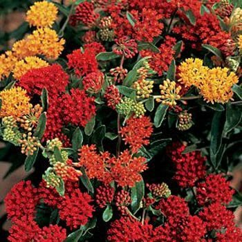 Outsidepride Butterfly Weed Asclepias Tuberosa Gay Butterflies Plant Seed - 50 Seeds