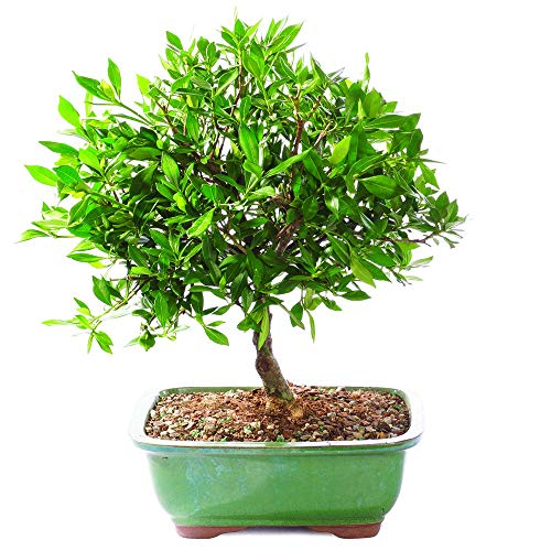 Brussel's Bonsai Live Satsuki Azalea Outdoor Bonsai Tree-5 Years Old 6'' to 8'' Tall with Decorative Container, Small, by Brussel's Bonsai (Image #1)