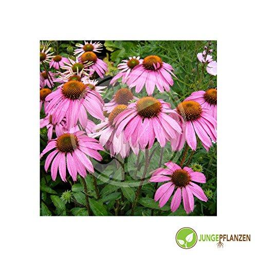 Kräutersamen - roter Sonnenhut / Echinacea purpurea 30 Samen
