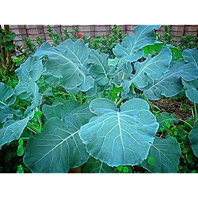 Verazui Georgia Southern Collard Greens Heirloom 8000 Seeds, 1 oz : Garden & Outdoor