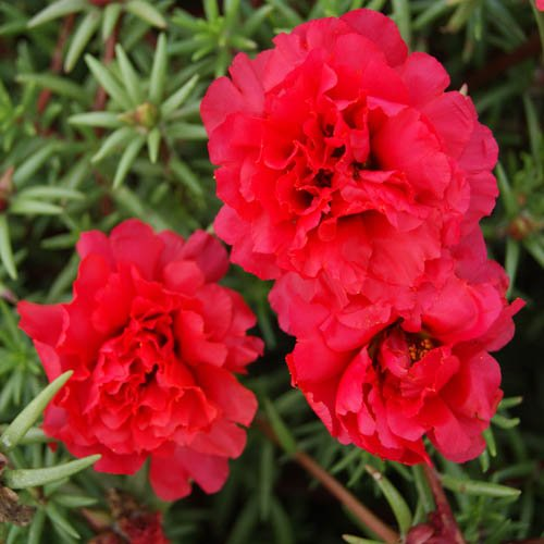 Outsidepride Red Portulaca Moss Rose Ground Cover Plant Seed - 5000 Seeds