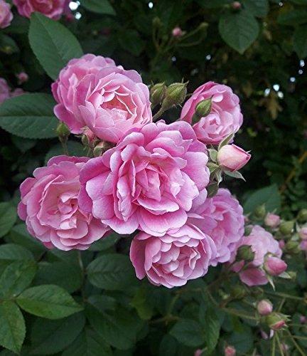 - (3 gallon) Queen Elizabeth Rose (Rosa)-