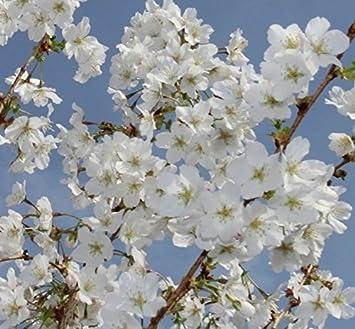 Prunus brilliant white dwarf patio flowering cherry tree 3 4ft prunus brilliant white dwarf patio flowering cherry tree 3 4ft supplied in a 5 litre mightylinksfo