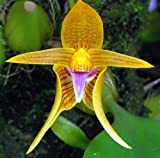 Bulbophyllum smitinandii - orchids - 100 seeds