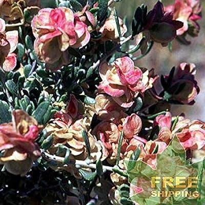 Four-Wing Saltbush Atriplex Canescens - 25 Seeds : Garden & Outdoor