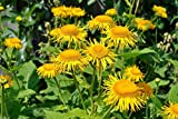 100 Seeds - Elecampane Seeds, also called Yellow Starwort,, Non Gmo Untreated - Perennial