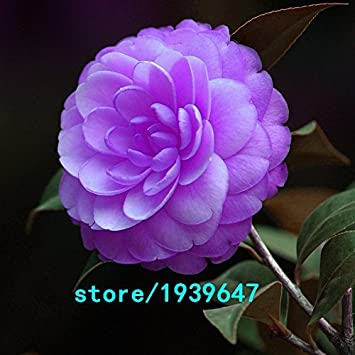 Amazon Com Rare Purple Camellia Seeds Potted Garden Flower Seeds