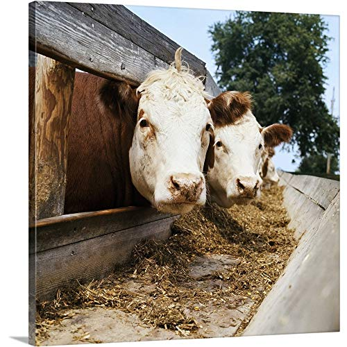 Solid-Faced Canvas Print Wall Art Print Entitled Livestock, Whiteface Hereford Beef Cattle at feedbunk, Nebraska 30