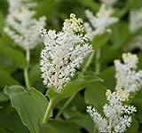 Solomon's Plume .20 Seeds, shade-loving perennial