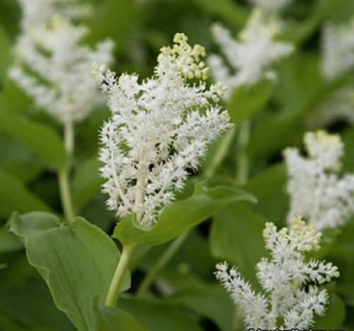 Solomon's Plume .20 Seeds, shade-loving perennial by Unknown
