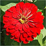 Package of 250 Seeds, Cherry Queen Zinnia (Zinnia elegans) Non-GMO Seeds By Seed Needs