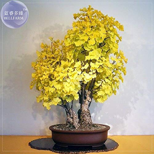 Ginkgo Biloba Maidenhair Tree - Go Garden BELLFARM Bonsai Ginkgo Biloba Maidenhair Tree Hardy Perennial Bonsal High Germination -5pcs/Pack
