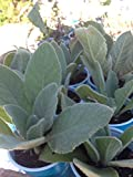 12 Well Rooted Starter Plant of Mullein Verbascum thapsus (NO POT)