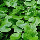Hot Wasabi Seeds 100pcs/bag Japanese Horseradish Seeds Vegetable Wasabia Japonica Home Garden Bonsai Plants DIY