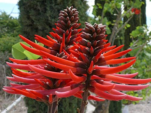 Erythrina Coralloides - Flame Coral Tree -Rare Tropical Plant Tree Seeds (5)