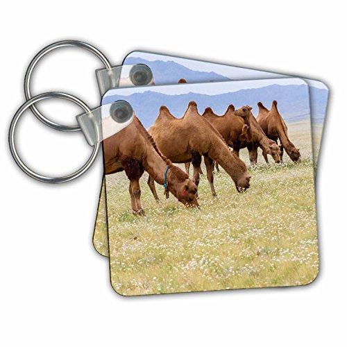 Gobi Desert Camel - 3
