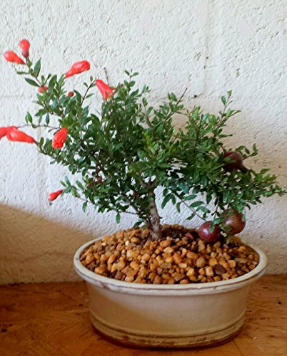 Indoorbonsaiexotics Dwarf Pomegranate Beginner Bonsai Tree (Indoors) by indoorbonsaiexotics