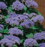 Ageratum Hawaii Blue 5.0 500 seeds