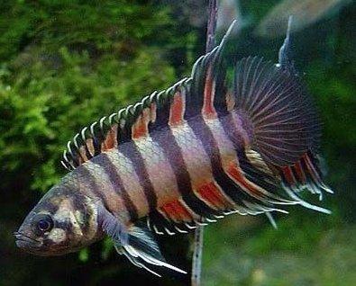 Live Freshwater Aquarium Fish - 1 - 1.5