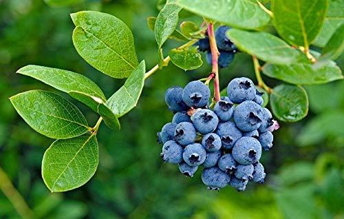 Blueberry Plants Fruits Live 4 Four Dwarf Plant Top Hat V3 by Iniloplant (Image #4)