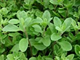 "Sweet Marjoram Herb - Indoors or Out - 4"" pot"