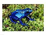 Close-up of a Blue Poison Dart Frog in the grass Art Print, 24 x 18 inches