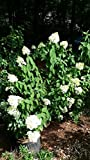 sun loving shrubs Pixies Gardens (1 Gallon) Chantilly Lace Hydrangea, Sun Loving and Good for Colder Zones, specacular White Large panicles Their Ivory Color matures to a Soft Pink by Fall,