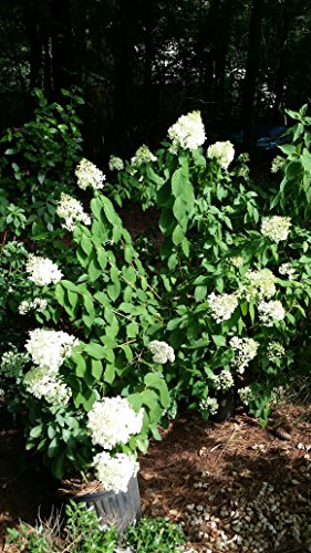 Chantilly Lace Hydrangea Pack of 3 Liners, Very Cold Hardy, 3 in 1 Plant, Hydrangeas Shrub, Evergreens, ()