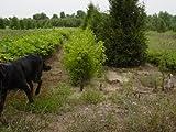 4 American Plum (Prunus americana) 1-2'