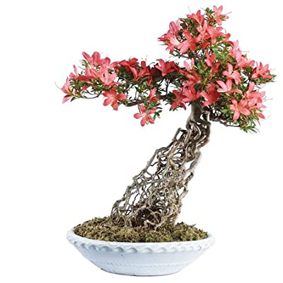 """Brussel's Live Azalea Specimen Outdoor Bonsai Tree - 25 Years Old; 17"""" Tall with Decorative Container: Garden & Outdoor"""