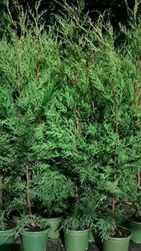 10 X GREEN LEYLANDII HEDGING CONIFER 2.5-3 FOOT TALL TREES IN 1 LT POTS EVERGREEN