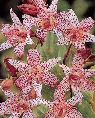 Tricyrtis (Toad Lily) hirta 250 seeds Hazzard' s Seeds