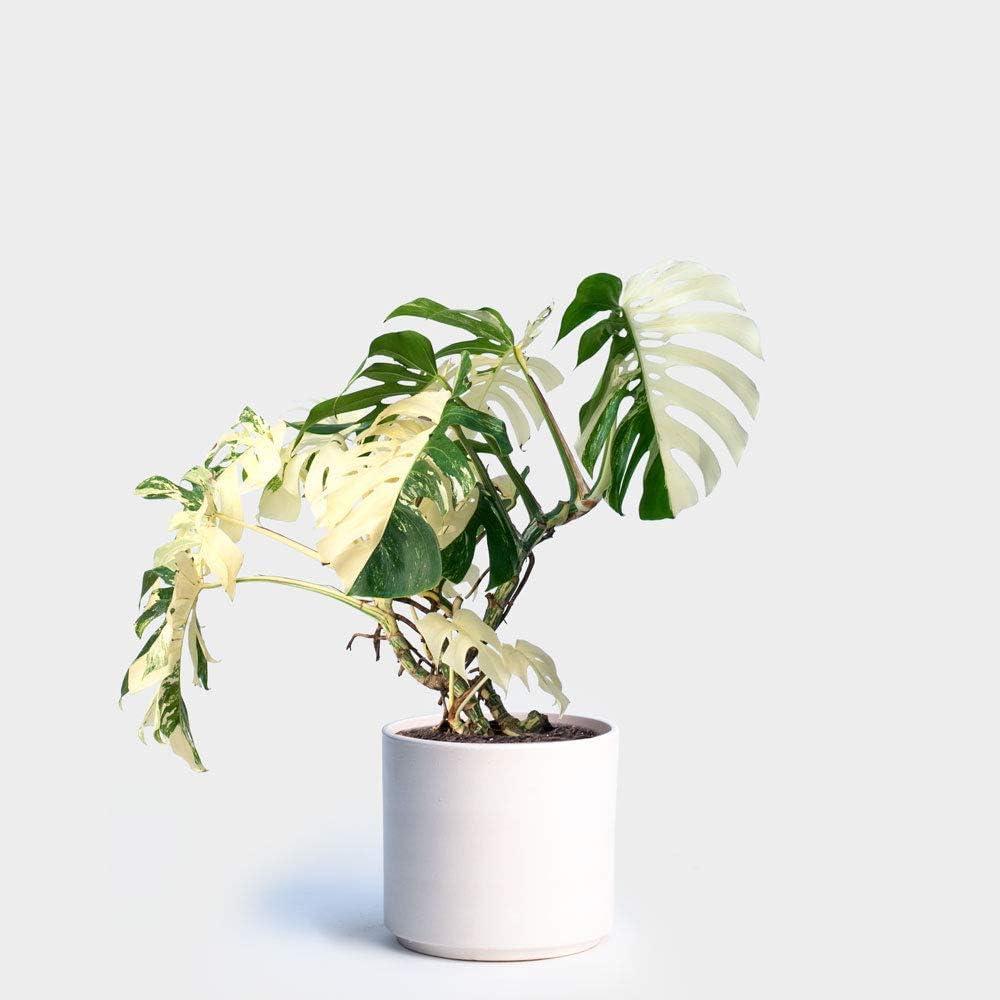 Portal Cool Las semillas 100pcs blanca Monstera palma tortuga Planta de tiesto Bonsái Decoración Hogar Jardín