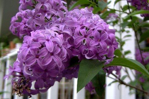 25 FRENCH / OLD FASHIONED LILAC Syringa Vulgaris Flower Shrub Bush Seeds by ()