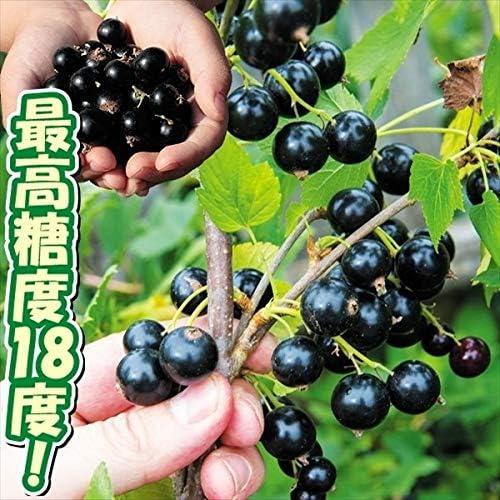 国華園 果樹苗 カシス (カラント) チタニア 1株
