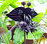 (BTS *Ambizu*) 2015 HOT Sale Black Tiger Shall Orchid Flowers Seeds 200pcs Rare Flower Orchid Seeds