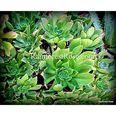 1 Aeonium Green Cutting Succulents Cactus Plants no Pot : Garden & Outdoor