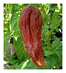 Chili Black Naga - hot pepper - 25 seeds