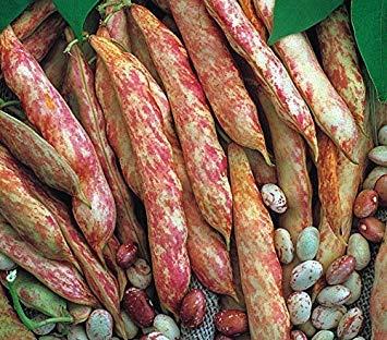 IDEA HIGH SeeKay Dwarf French Bean Borlotto - 40 Seeds - ()