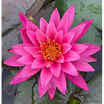 Amazon hot sale 10pcs lotus seeds 8 kinds bowl mixed colors live aquatic plant nymphaea mayla red color hardy water lily tuber for aquarium freshwater fish pond buy 2 get 1 free by justnature mightylinksfo