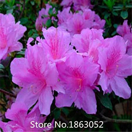 Amazon Com 100pcs Authentic Rhododendron Simsii Seeds Flower