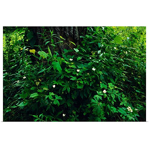 - GREATBIGCANVAS Poster Print Entitled Wood Anemone Flowers (Anemone quinquefolia) Blooming Around Tree Trunk, New York by 18