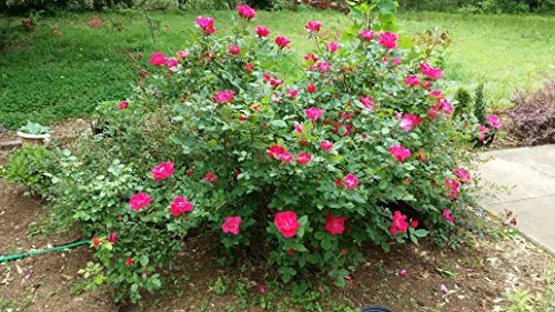 (1 Gallon) DOUBLE (RED) KNOCKOUT ROSE, Ongoing Gorgeous Vivid Double Red Blooms Create Wow Factor All Summer Long, Versatile Plant, (Hydrangeas Shrub, Evergreens, Gardenia) by Pixies Gardens