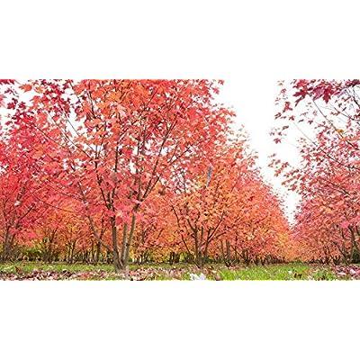 Cheap Tree Seeds Acer X Freemanii Autumn Blaze Hybrid Red Maple Get 10 Seeds Easy Grow #GRG01YN : Garden & Outdoor
