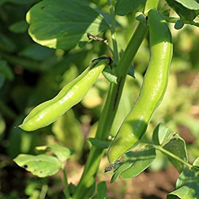 Broad Windsor Fava Bean Seeds - Non-GMO, Heirloom - Vegetable Garden Seeds - Vicia faba