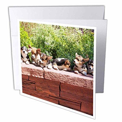 danita-delimont-dogs-pembroke-welsh-corgi-dog-flagstone-wall-na02-pwo0113-piperanne-worcester-greeti