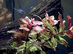 Dark Red Ludwigia - 2 Bunches - Large Live Aquarium Plant by Aquatic Arts
