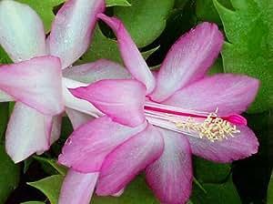 Christmas Cacti.Lavender Christmas Cactus Plant Zygocactus 4 Pot