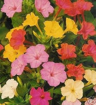 30+ Samen Wunderblume Mirabilis jalapa