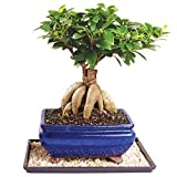 Brussel's Gensing Grafted Ficus Bonsai – Medium (Indoor) with Humidity Tray & Deco Rock For Sale